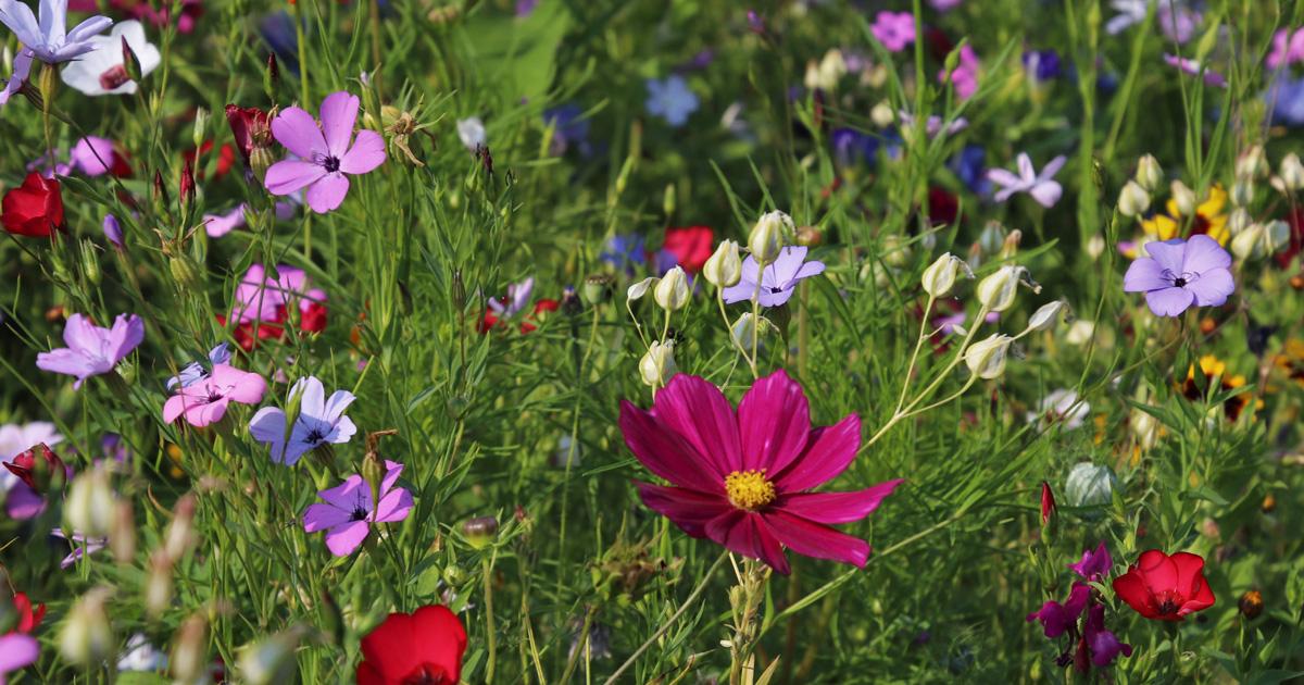 Fleurs des champs colorées