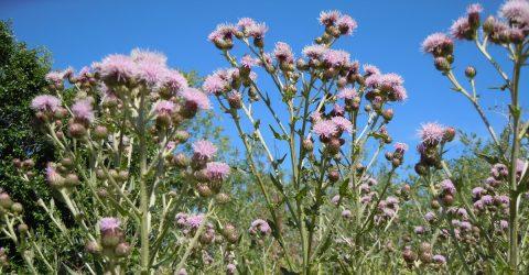 chardon des champs fleuri